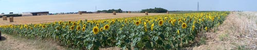 Sunflowers field panorama